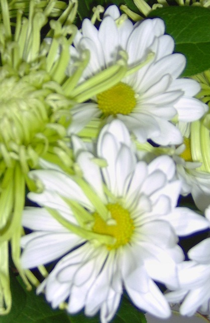 two white daisies