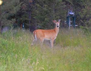 Deer on Path