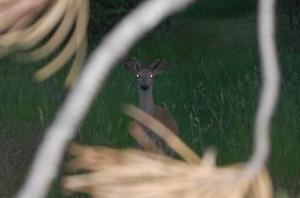 Deer spots me